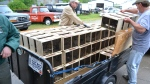 Trailer full of Package Bees
