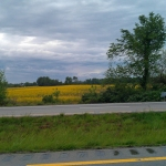 Fields of Yellow in KY