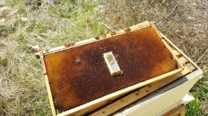 queen cage on a frame of comb